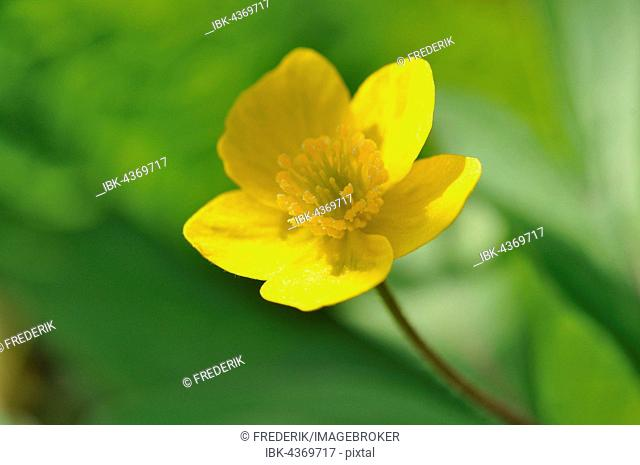 Yellow wood anemone or buttercup anemone (Anemone ranunculoides), flowering, North Rhine-Westphalia, Germany
