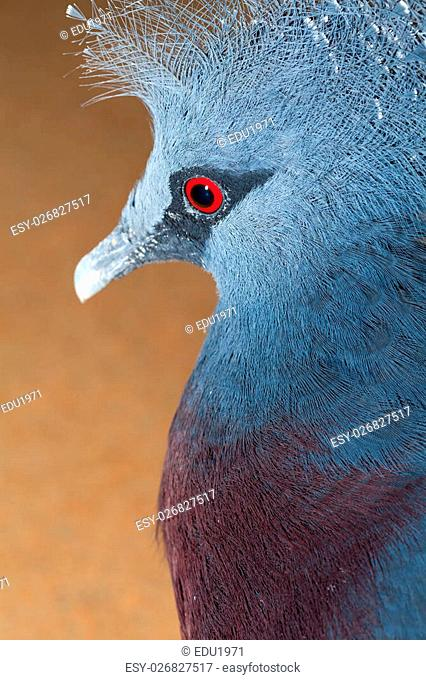 The Victoria Crowned Pigeon, Goura victoria, is a large, bluish-grey pigeon with elegant blue lace-like crests, maroon breast and red iris