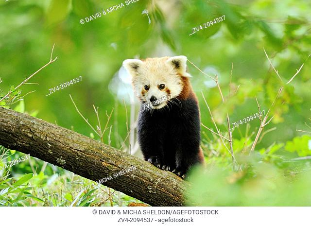 Close-up of a Red panda (Ailurus fulgens) on a bough
