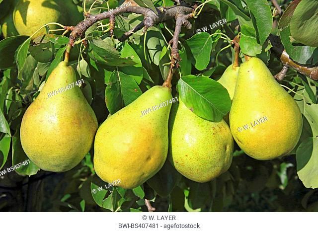 Common pear (Pyrus communis), pears on a tree, Germany