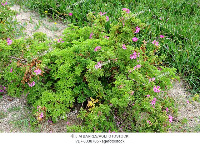 Rose geranium or rose-scent geranium (Pelargonium graveolens) is an ornamental shrub native to southern Africa