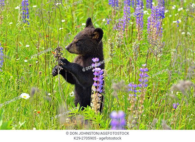Black bear (Ursus americanus) Cub standing in flower field, captive raised, Minnesota wildlife Connection, Sandstone, Minnesota, USA