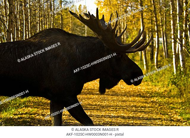Silhouette of a bull moose crossing a trail during a colorful Autumn in Southcentral Alaska