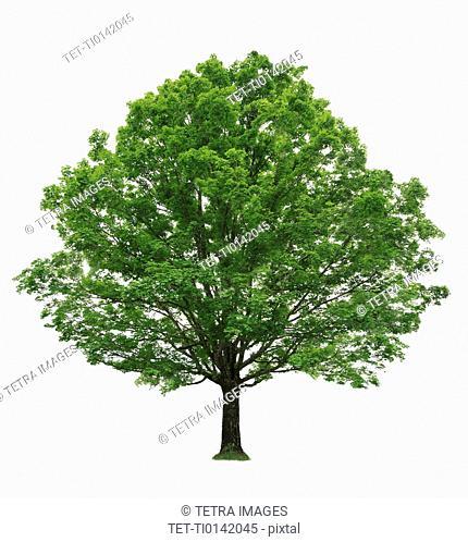 Maple tree on white background