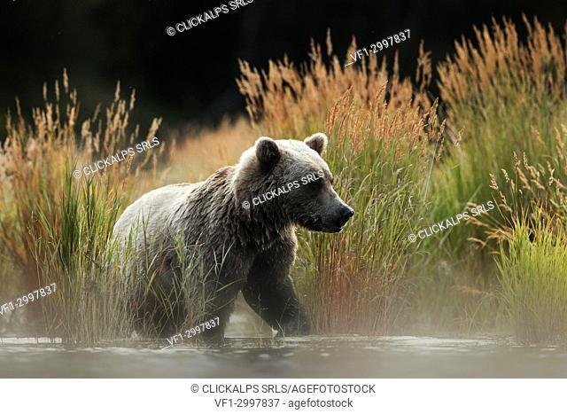 Brown bear (Ursus arctos alascensis), Brooks river, Katmai National Park and Preserve, alaska peninsula, western Alaska, United States of America
