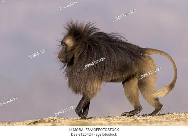 Africa, Ethiopia, Rift Valley, Debre Libanos, Gelada or Gelada baboon (Theropithecus gelada), dominant male