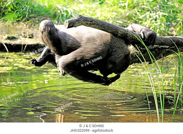 Western Lowland Gorilla, (Gorilla gorilla gorilla), adult at water drinking, Africa