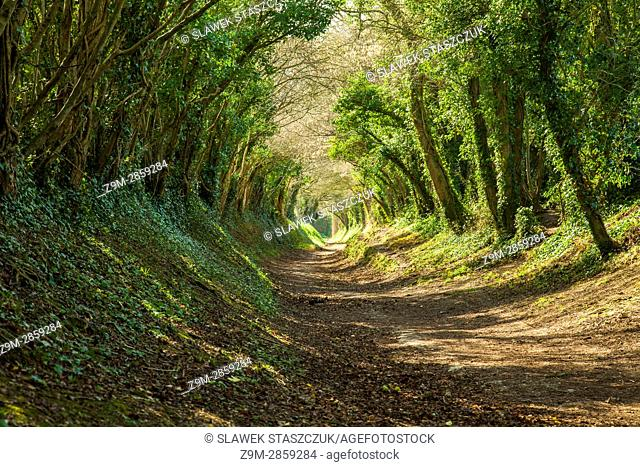 """A """"""""tree tunnel"""""""" near Halnaker, West Sussex, England"""