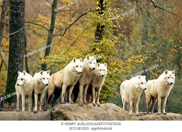 Arctic or Canadian wolf in autumn. Loup arctique ou du Canada. Canis lupus