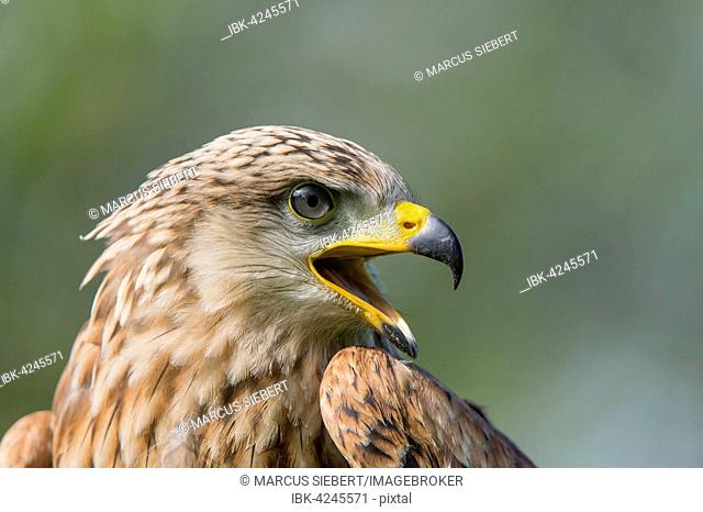 Red kite (Milvus milvus), captive, portrait, Eifel, Germany