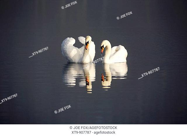 pair of mute swans cygnus olor swimming on a lake in county down Northern Ireland UK