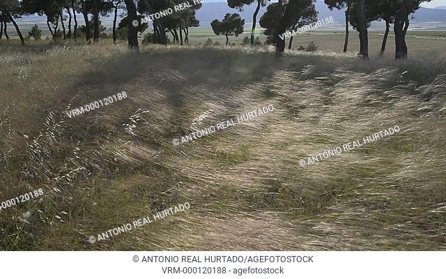 Plants and wind. Almansa. Albacete. Spain