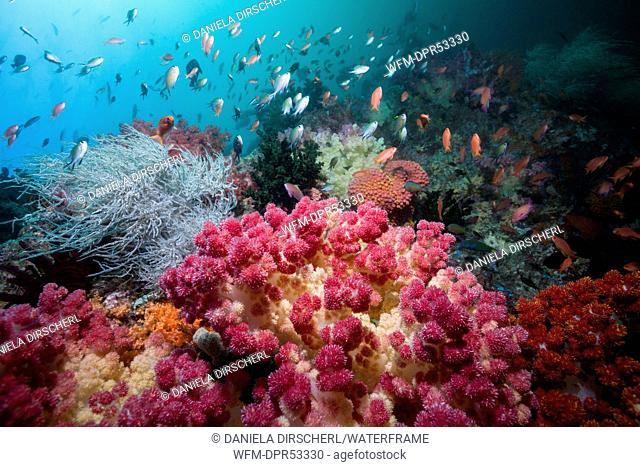 Reef of Soft Corals, Dendronephthya sp., Triton Bay, West Papua, Indonesia
