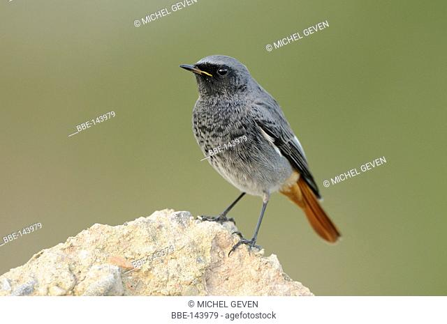 Male Black Redstart on constructionsite