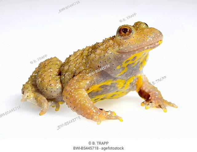 yellow-bellied toad, yellowbelly toad, variegated fire-toad (Bombina variegata), dark pigmented albino, cutout, Germany