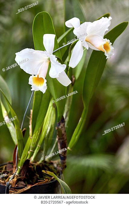 Orchid, Orquideorama Jose Jeronimo Triana, Jardin Botanico, Medellin, Antioquia, Colombia, South America