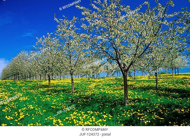 cherry tree - blooming