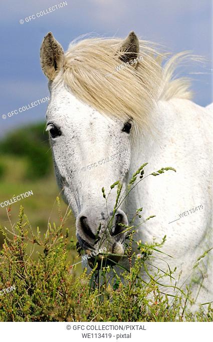 Portrait of Camargue horse with wavy mane, Camargue, Frankreich