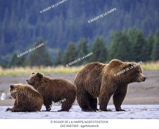 Coastal brown bear, also known as Grizzly Bear (Ursus Arctos) female and cubs. South Central Alaska. United States of America (USA)
