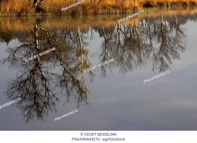 Birch Betula - Kootwijkerzand, Veluwe, Guelders, The Netherlands, Holland, Europe