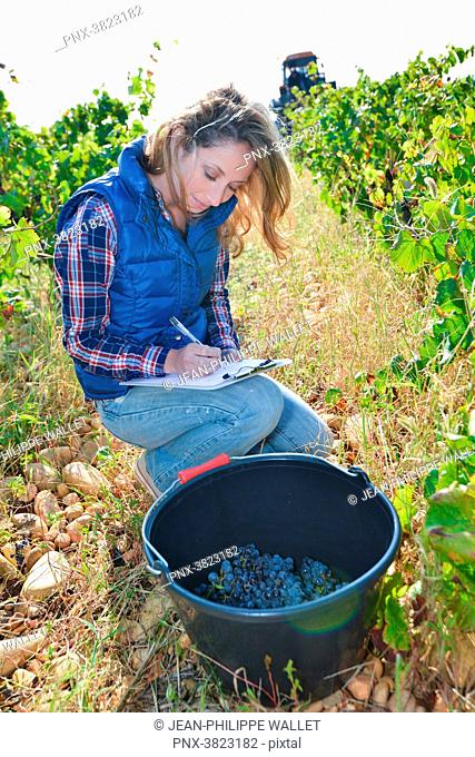 cheerful young woman oenologist wine specialist checking if grapes are ready to be harvested in vineyard during wine harvest season autumn- Cepage Grenache