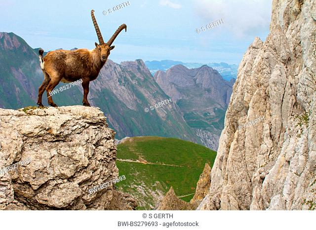alpine ibex Capra ibex, standing on rock spur, Switzerland, Alpstein, Saentis