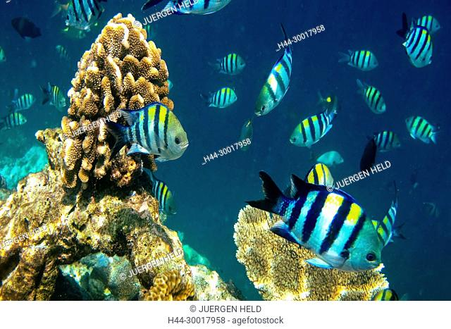 Maladives, South Male Atoll, Biyadhoo Island, Coral fish, Amphiprion nigripes, Amphiprion ocellaris, Biyaadhoo, Biyadhoo, Biyadoo, Blackfinned