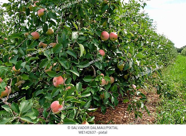 fields apples,fuji apples category,location girona,catalonia,spain,europe,