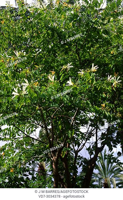 Orchid tree or mountain ebony (Bauhinia variegata alba) is an ornamental tree native to south Asia