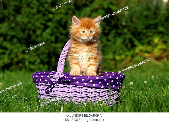American Longhair, Maine Coon. Kitten (6 weeks old) in a purple shopping basket on a meadow. Germany