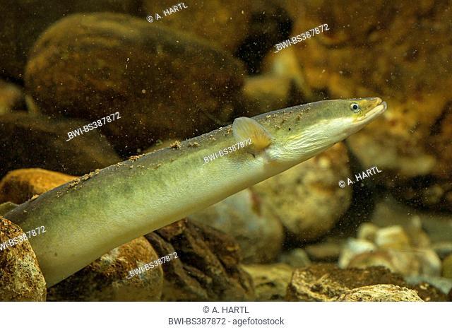 eel, European eel, river eel (Anguilla anguilla), peering between pebbles, Germany