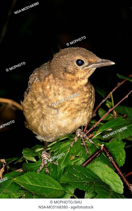jung blackbird