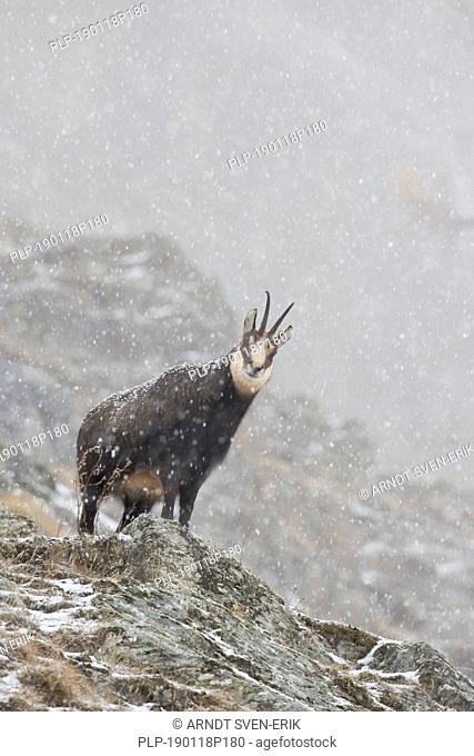 Chamois (Rupicapra rupicapra) female on mountain slope in the snow and mist in winter in the European Alps