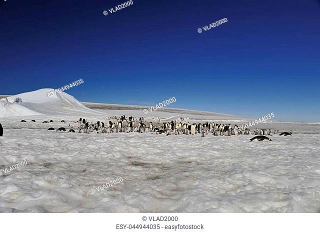 Emperor Penguins at Snow Hill ,Antarctica 2010