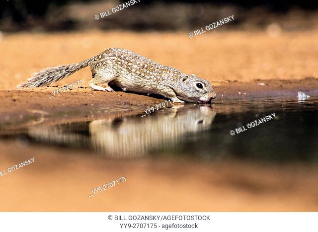 Mexican Ground Squirrel (Spermophilus mexicanus) drinking at waterhole - Santa Clara Ranch, McCook, Texas, USA