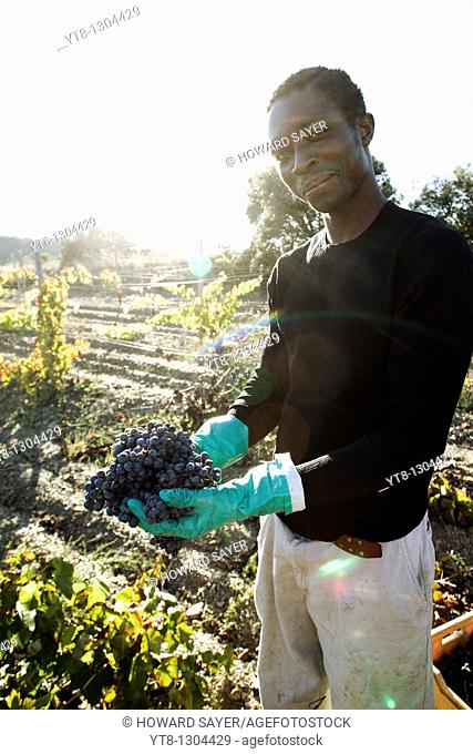 African man holding bunches of grapes that he has picked from a vineyard in the Priorat wine region of Catalonia, Spain