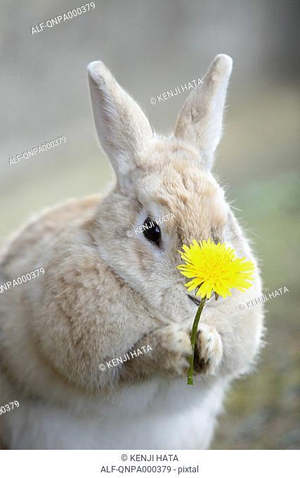 Rabbit holding a Dandelion