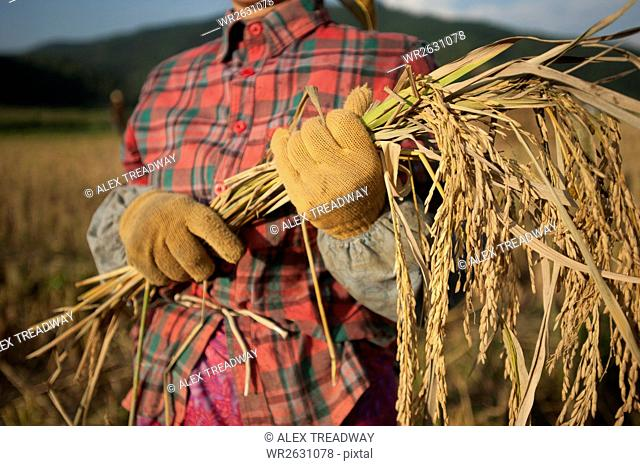 A woman harvests rice by hand with a sickle, Yunnan Province, China, Asia