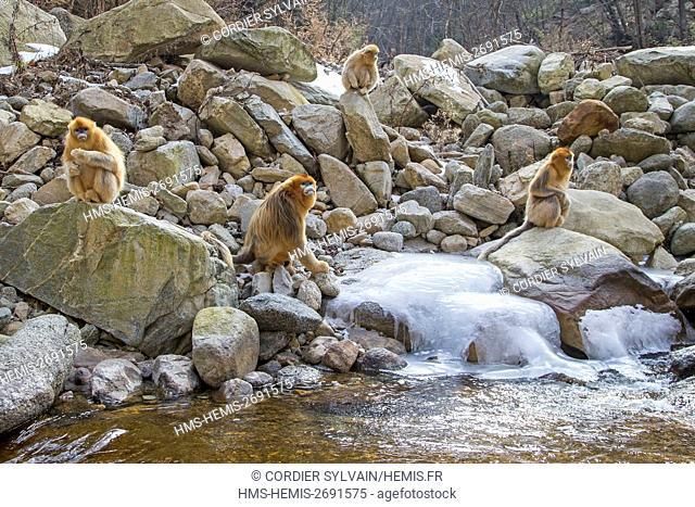 China, Shaanxi province, Qinling Mountains, Golden Snub-nosed Monkey (Rhinopithecus roxellana), near a river