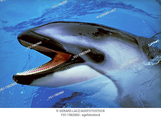 Dolphin with Open Mouth standing at Surface