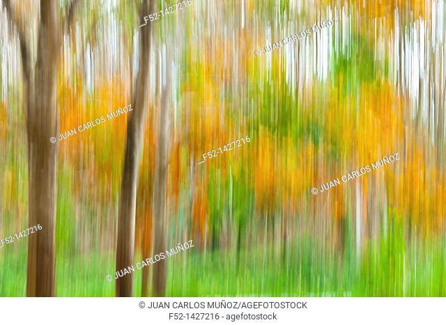 Rubber Tree plantation, Krabi province, Andaman Sea, Thailand, Asia