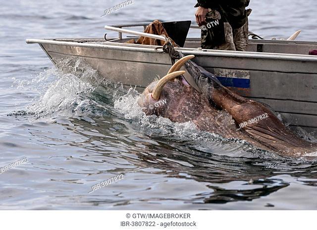 Walrus hunters, Chukotka, Russia