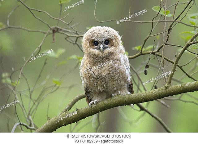 Tawny Owl ( Strix aluco ), fledgling, perched on a branch, begging for food, its dark brown eyes wide open