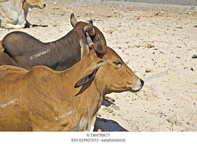 Two cows on the street of the sacred town Dwarka