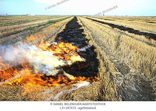 Rice (Oryza sativa) fields: straw burning. La Albufera. Sueca, Valencia province. Spain