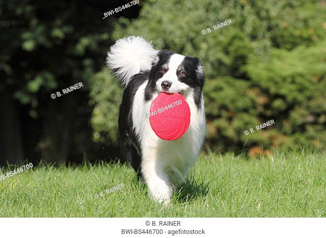 Australian Shepherd (Canis lupus f. familiaris), six years old male dog walking with a frisbee in the mouth in a meadow, front view, Germany