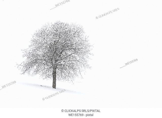 Europe, Italy, Trentino Alto Adige, Non valley. Snow covered tree after a heavy snowfall