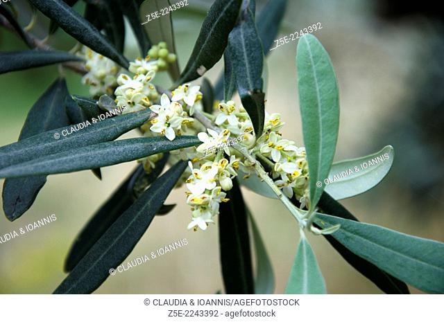 Blossoming olive twig Olea europaea - Pelion Peninsula, Thessaly, Greece