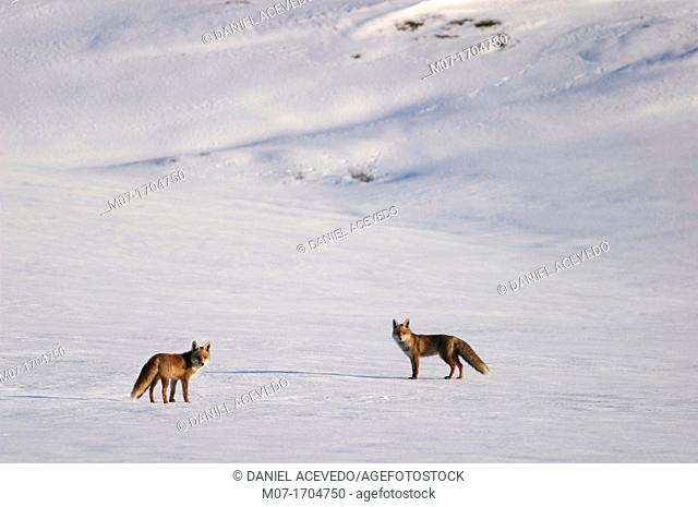 Red wild forxes (Vulpes vulpes) on snow, Burgos province, Spain