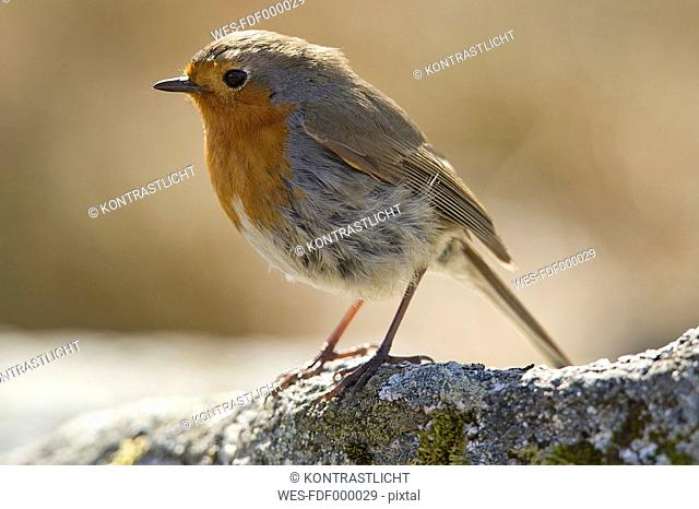 UK, Scotland, Robin perching on branch
